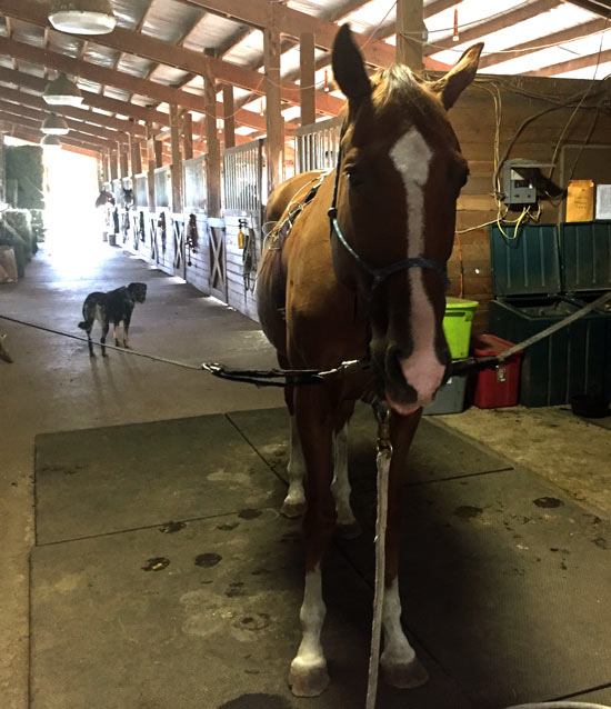 Matrix Best-Vet Instructor, Ashley Powers, treating her horse with microcurrent